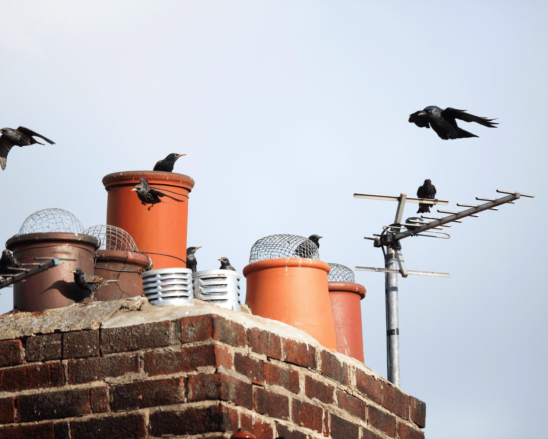 Bird in chimney